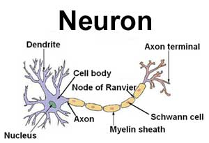 Neuron showing a Schwann Cells